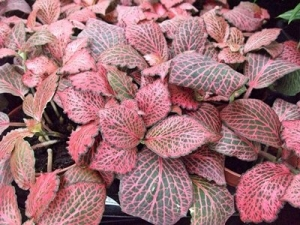 Fittonia rosa / weiss